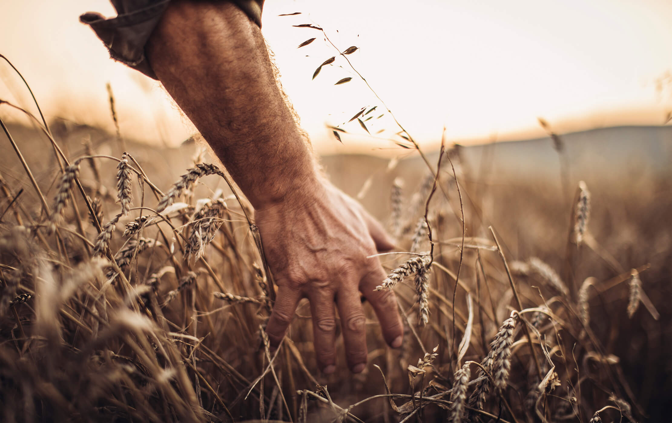 Close-up shot of male farmer, running his hands through a field of corn on a warm summer evening